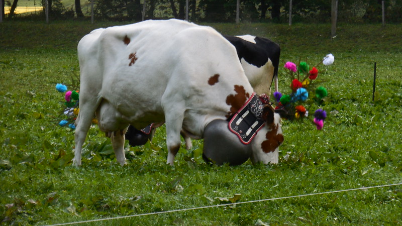cows with flower adornments grazing in a green field