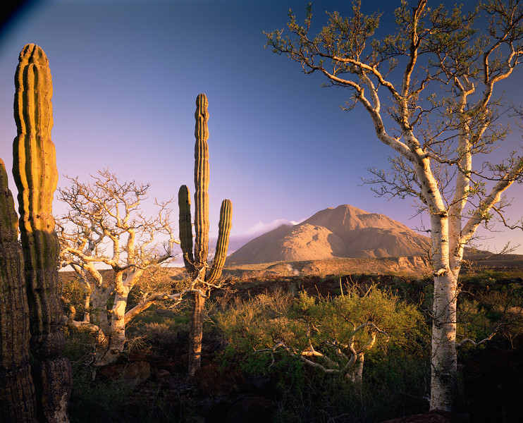 Baja Sur, Tres Virgenes, MEX/Elephant trees (Pachycormus discolor), left, (Bursera microphylla) and Cardon (Pachycereus pringlei) cactus at sunrise 189h                           a