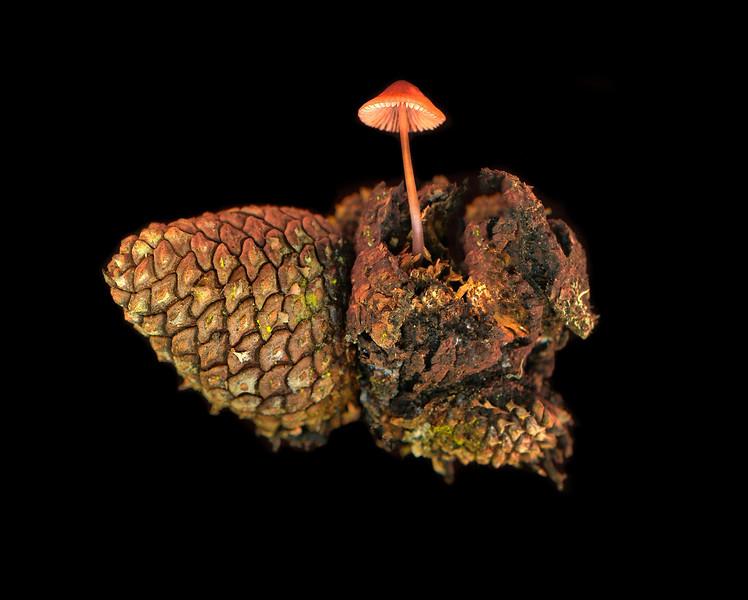 Pine Cone Mushroom, Study #3