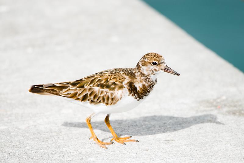 19-Sept North America Birds-3890-2.JPG