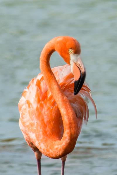 Flamingo Portrait--2.jpg