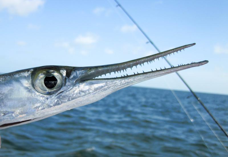 houndfish-2.jpg