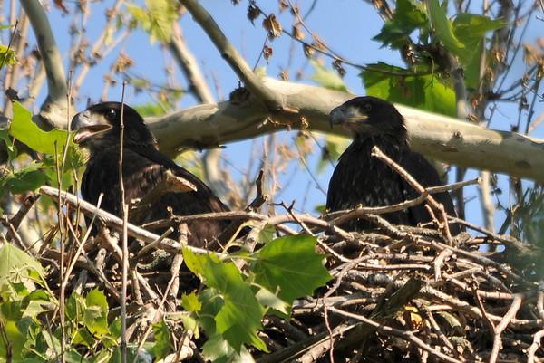 Rimer Eaglets