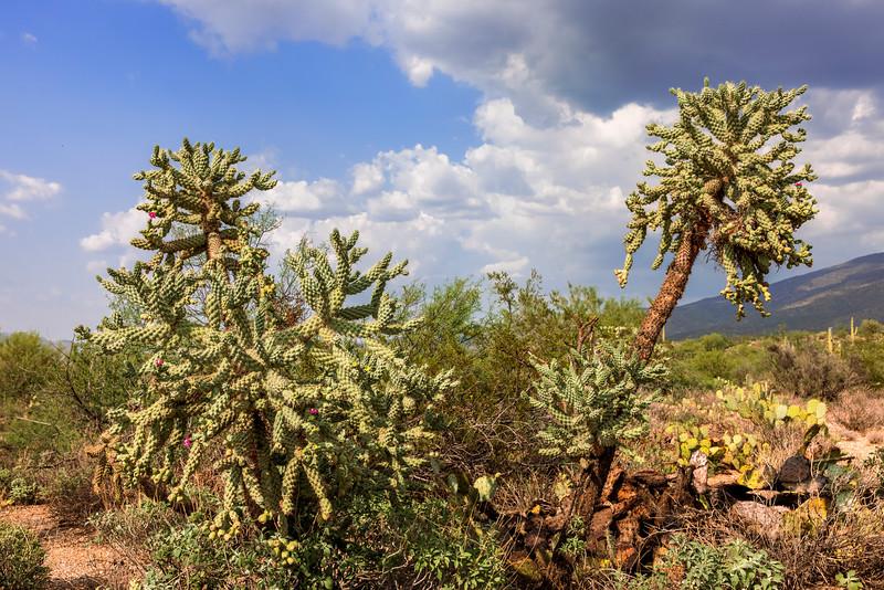 Desert Pom-Poms