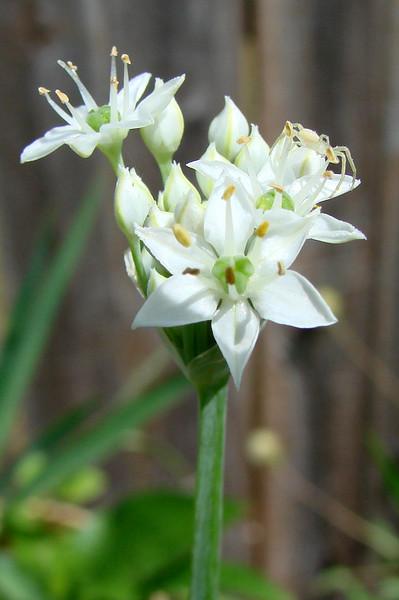 Allium sp. (perennial) 7/26/07