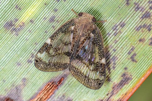 Ricaniid planthoppers (Ricaniidae)