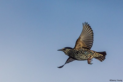 Starling's