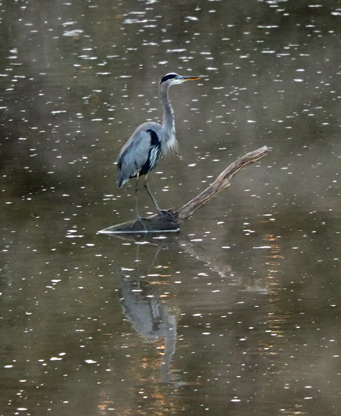 Great blue heron on branch 2