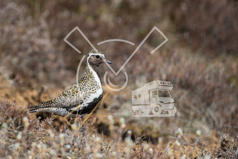Golden Plover, despite his remarkable breeding plumage still well camouflaged in the Icelandic graslands.