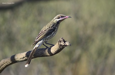 Spiny-Cheeked Honeyeater  (Acanthagenys rufogularis)