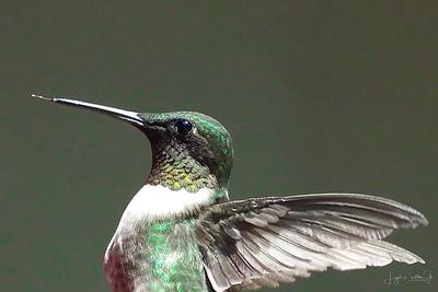Hummingbirds  9-10-17