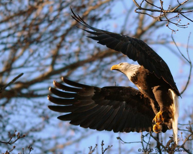 Bald Eagle coming in for a landing near Conowingo Dam Susquehanna River, Maryland December 2008