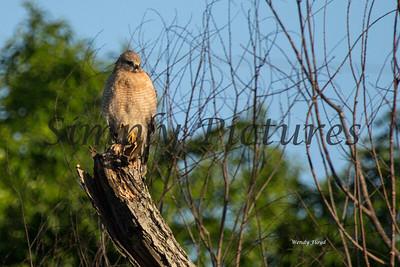 Hawk  002