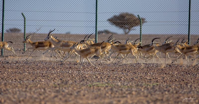Gazelle (6).jpg