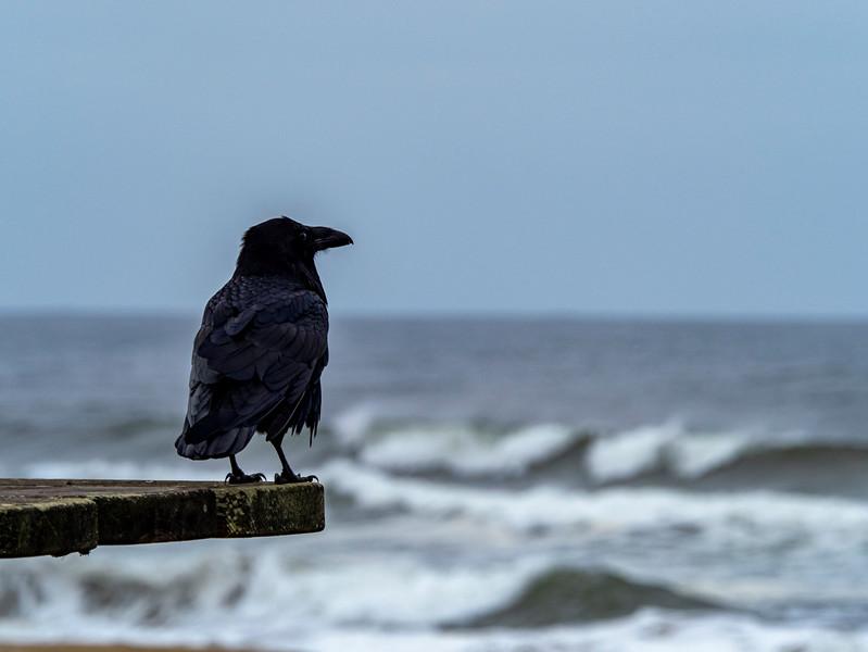 sea crow.jpg
