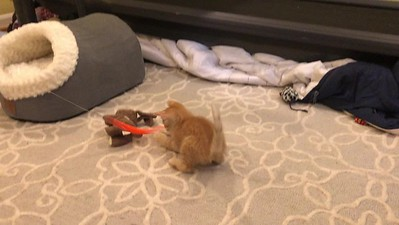 Our New Kitten Higgins