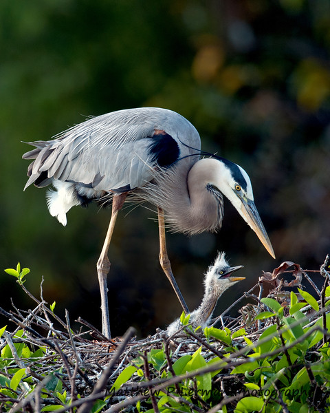 109 Bird Great Blue Heron with young_6325 JPG.jpg