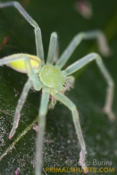 Green huntsman spider (likely Olios sp.) in Intervales State Park, Brazil. South-east atlantic forest reserve, UNESCO World Heritage Site.