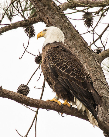 Eagles 2012-2015 at Guntersville Dam