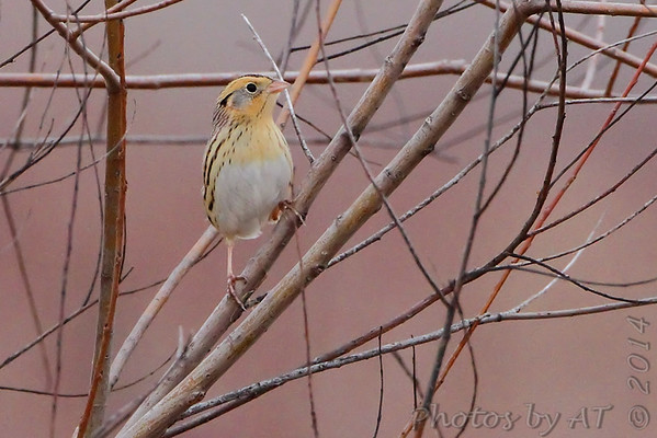 2014-12-23 Le Conte's Sparrows