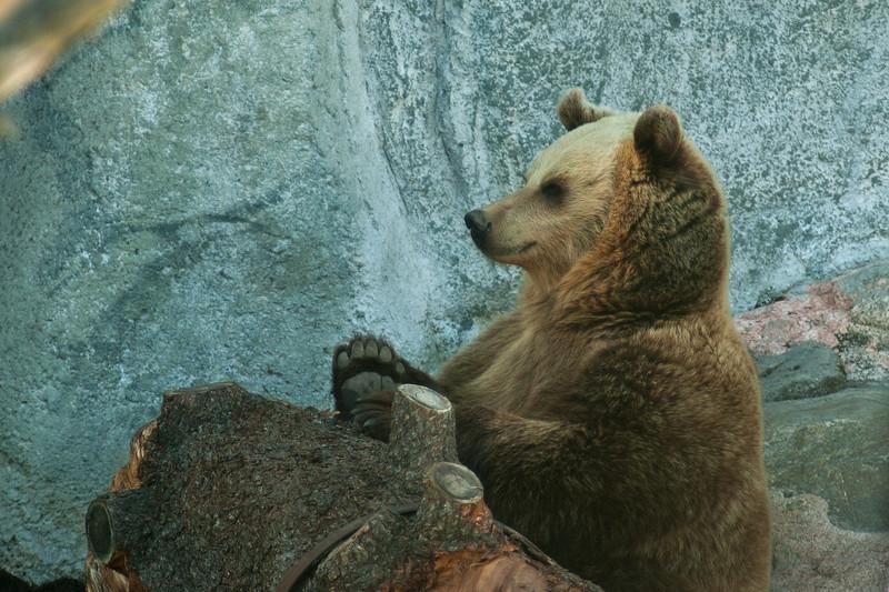 Brown Bear - Ruskeakarhu - Ursus arctos  I'm waiting... - Odottelen...