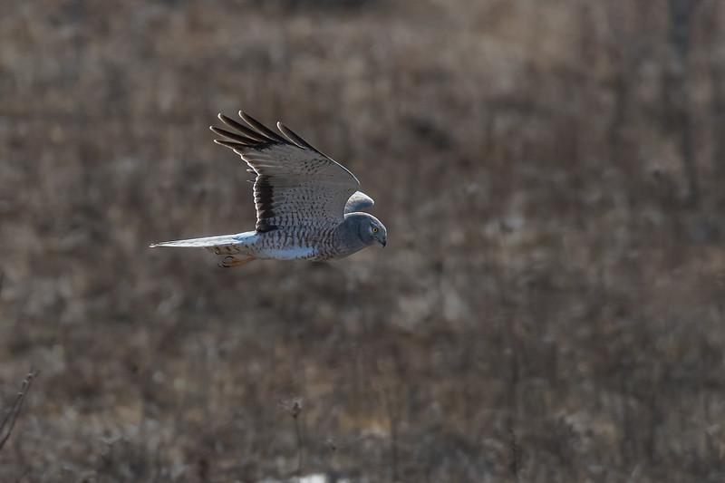 Northern Harrier Male / Busard St-Martin mâle