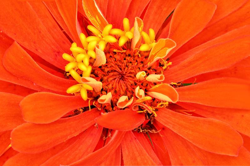 Orange Zinnia Portrait