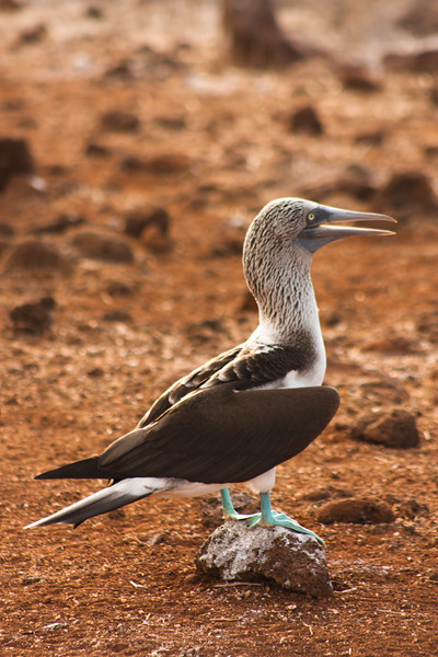 Journey into Baltra Island in the Galapagos Archipelago 13 Blue Footed Booby on a Rock