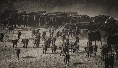 11-24-2013 Yolo Land & Cattle