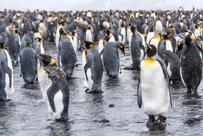 Penguin_King_Salisbury Plain_South Georgia-4.jpg