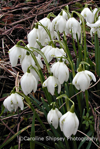 The first flowers of spring - Snowdrops