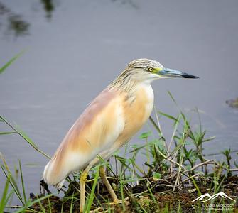 Amboseli - Birds