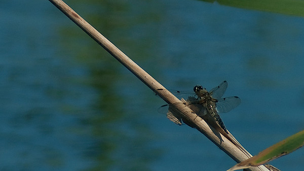 Dragonflies - Sudenkorennot