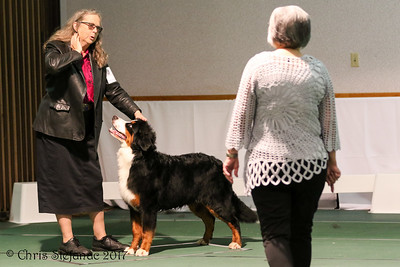 Futurity 6-9 mos Puppy Dogs BMDCA 2017