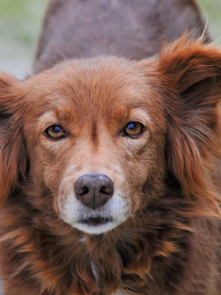 Cão ( Dog )