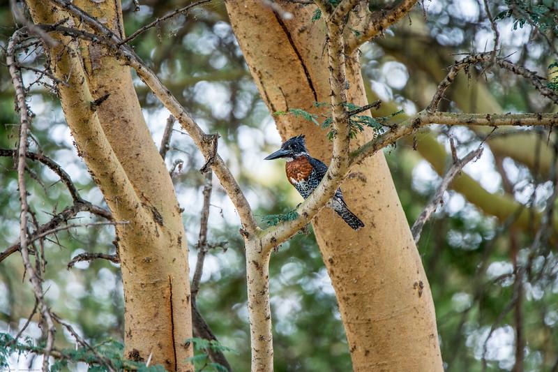Giant kingfisher, Megaceryle maxima-1.jpg