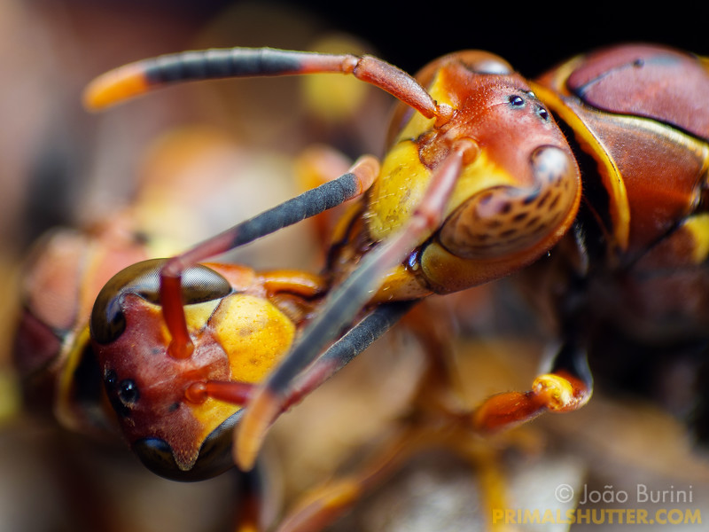 Close-up of worker and queen paper wasp