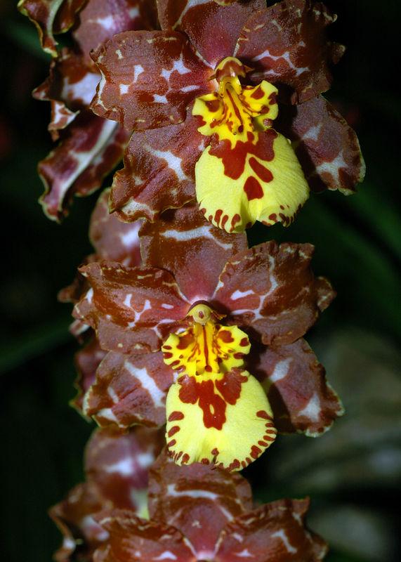 Orquidea 9.jpg