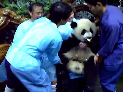 Panda bear encounter- the video