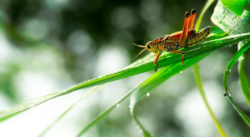 Grasshoppers 31.jpg