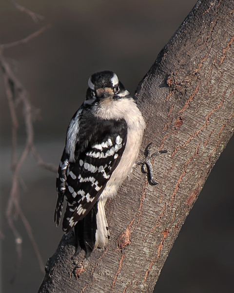 sx50_downy_woodpecker_bit_dpp_cr2_061.jpg