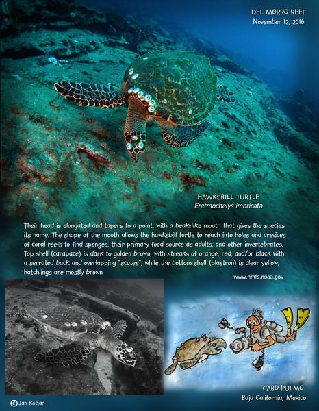 11.12.16 Hawkbill turtle 2 .jpg