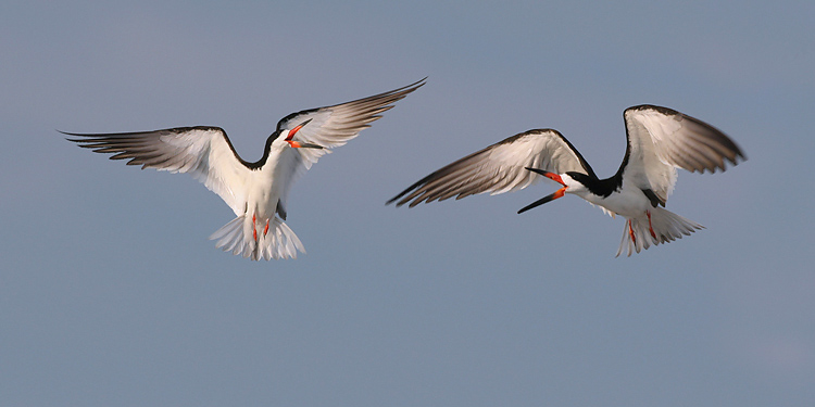 Black Skimmers Aerial Encounter