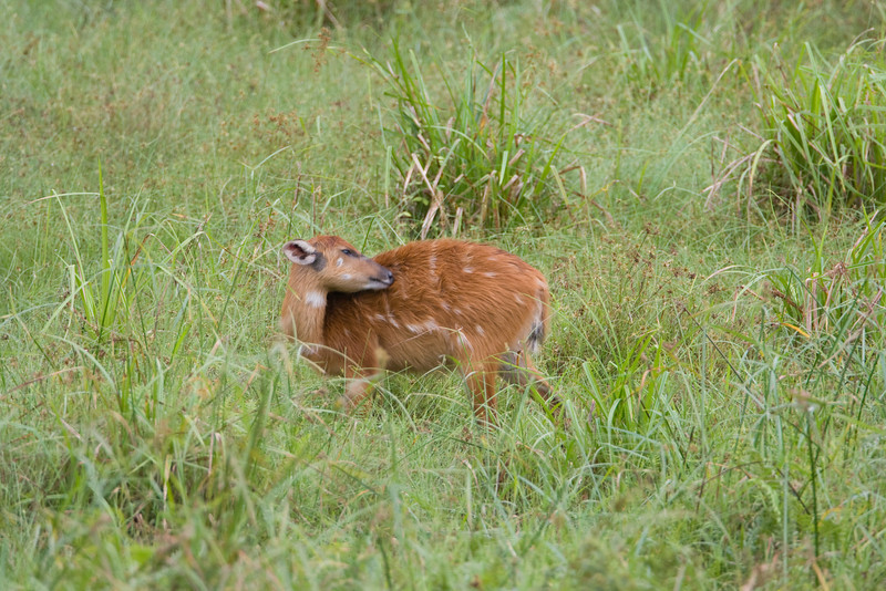 Sitatunga at Langoue Bai.