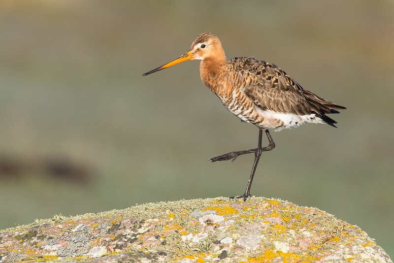 Black-tailed Godwit , Rödspov , (Cloned right corner)
