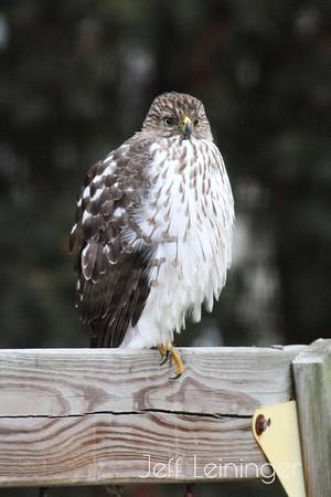 Return of the Hawk