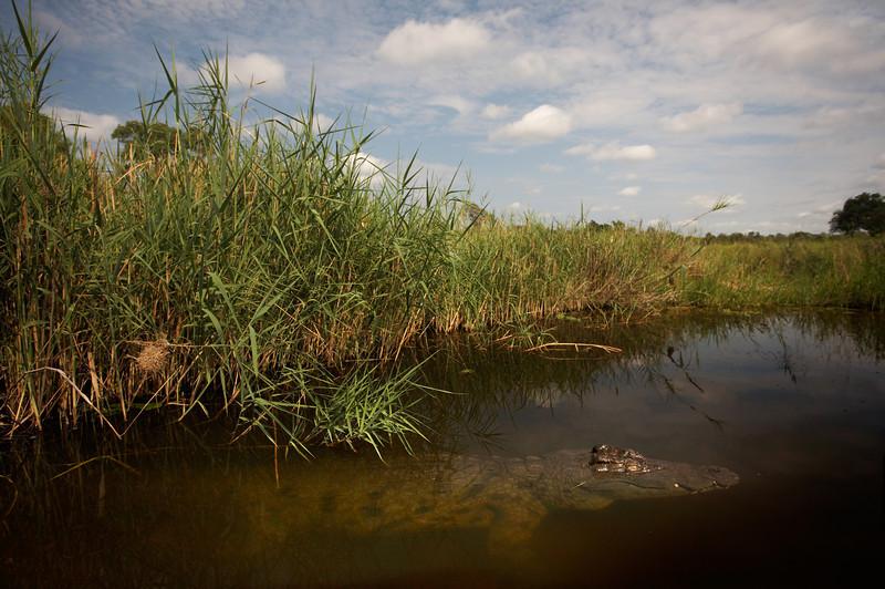 Nile Crocodile - 4222.jpg