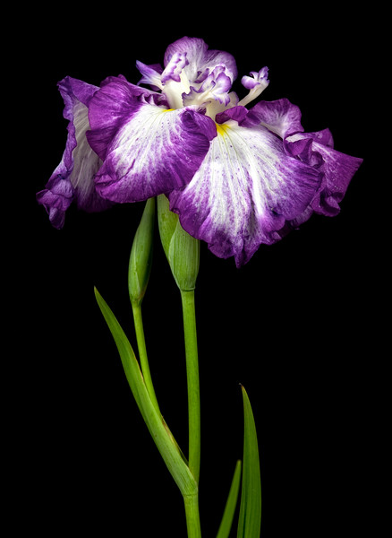 japanese-iris-03.jpg