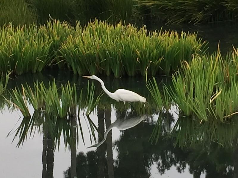Photo:  Egret, Echo Park, Los Angeles