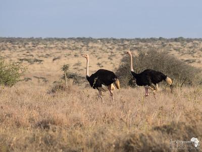 A pair of Ostrich
